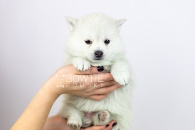 puppy108 week5 BowTiePomsky.com Bowtie Pomsky Puppy For Sale Husky Pomeranian Mini Dog Spokane WA Breeder Blue Eyes Pomskies Celebrity Puppy web6