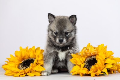 puppy109 week5 BowTiePomsky.com Bowtie Pomsky Puppy For Sale Husky Pomeranian Mini Dog Spokane WA Breeder Blue Eyes Pomskies Celebrity Puppy web2