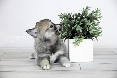 puppy109 week7 BowTiePomsky.com Bowtie Pomsky Puppy For Sale Husky Pomeranian Mini Dog Spokane WA Breeder Blue Eyes Pomskies Celebrity Puppy web3