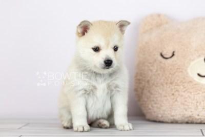 puppy110 week5 BowTiePomsky.com Bowtie Pomsky Puppy For Sale Husky Pomeranian Mini Dog Spokane WA Breeder Blue Eyes Pomskies Celebrity Puppy web1