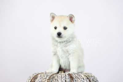 puppy110 week5 BowTiePomsky.com Bowtie Pomsky Puppy For Sale Husky Pomeranian Mini Dog Spokane WA Breeder Blue Eyes Pomskies Celebrity Puppy web4