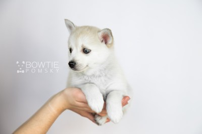 puppy110 week7 BowTiePomsky.com Bowtie Pomsky Puppy For Sale Husky Pomeranian Mini Dog Spokane WA Breeder Blue Eyes Pomskies Celebrity Puppy web1