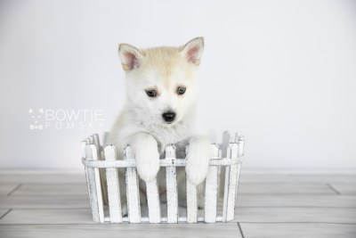 puppy110 week7 BowTiePomsky.com Bowtie Pomsky Puppy For Sale Husky Pomeranian Mini Dog Spokane WA Breeder Blue Eyes Pomskies Celebrity Puppy web2