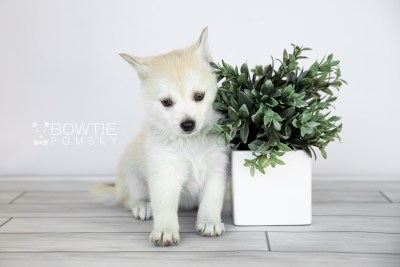 puppy110 week7 BowTiePomsky.com Bowtie Pomsky Puppy For Sale Husky Pomeranian Mini Dog Spokane WA Breeder Blue Eyes Pomskies Celebrity Puppy web3