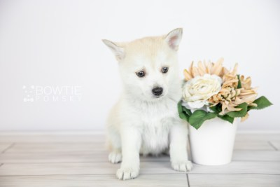 puppy110 week7 BowTiePomsky.com Bowtie Pomsky Puppy For Sale Husky Pomeranian Mini Dog Spokane WA Breeder Blue Eyes Pomskies Celebrity Puppy web6