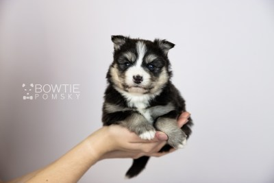 puppy111 week3 BowTiePomsky.com Bowtie Pomsky Puppy For Sale Husky Pomeranian Mini Dog Spokane WA Breeder Blue Eyes Pomskies Celebrity Puppy web2