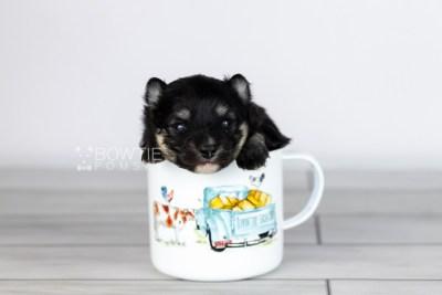 puppy112 week1 BowTiePomsky.com Bowtie Pomsky Puppy For Sale Husky Pomeranian Mini Dog Spokane WA Breeder Blue Eyes Pomskies Celebrity Puppy web1