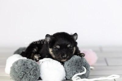 puppy112 week1 BowTiePomsky.com Bowtie Pomsky Puppy For Sale Husky Pomeranian Mini Dog Spokane WA Breeder Blue Eyes Pomskies Celebrity Puppy web4