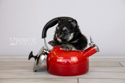 puppy112 week3 BowTiePomsky.com Bowtie Pomsky Puppy For Sale Husky Pomeranian Mini Dog Spokane WA Breeder Blue Eyes Pomskies Celebrity Puppy web1