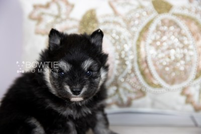 puppy112 week3 BowTiePomsky.com Bowtie Pomsky Puppy For Sale Husky Pomeranian Mini Dog Spokane WA Breeder Blue Eyes Pomskies Celebrity Puppy web5