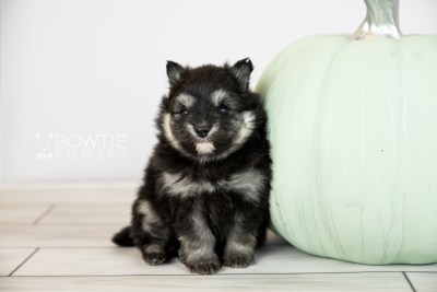puppy112 week3 BowTiePomsky.com Bowtie Pomsky Puppy For Sale Husky Pomeranian Mini Dog Spokane WA Breeder Blue Eyes Pomskies Celebrity Puppy web6