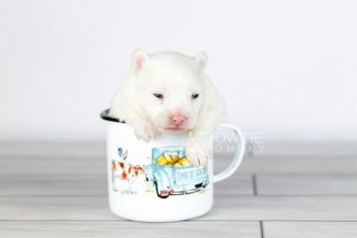 puppy113 week1 BowTiePomsky.com Bowtie Pomsky Puppy For Sale Husky Pomeranian Mini Dog Spokane WA Breeder Blue Eyes Pomskies Celebrity Puppy web1