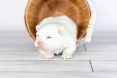 puppy113 week1 BowTiePomsky.com Bowtie Pomsky Puppy For Sale Husky Pomeranian Mini Dog Spokane WA Breeder Blue Eyes Pomskies Celebrity Puppy web3