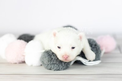 puppy113 week1 BowTiePomsky.com Bowtie Pomsky Puppy For Sale Husky Pomeranian Mini Dog Spokane WA Breeder Blue Eyes Pomskies Celebrity Puppy web4