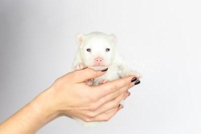 puppy113 week1 BowTiePomsky.com Bowtie Pomsky Puppy For Sale Husky Pomeranian Mini Dog Spokane WA Breeder Blue Eyes Pomskies Celebrity Puppy web6