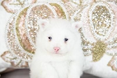 puppy113 week3 BowTiePomsky.com Bowtie Pomsky Puppy For Sale Husky Pomeranian Mini Dog Spokane WA Breeder Blue Eyes Pomskies Celebrity Puppy web5