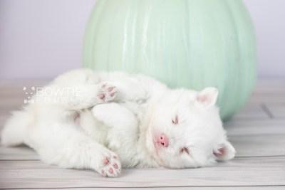 puppy113 week3 BowTiePomsky.com Bowtie Pomsky Puppy For Sale Husky Pomeranian Mini Dog Spokane WA Breeder Blue Eyes Pomskies Celebrity Puppy web6