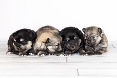 puppy114-117 week1 BowTiePomsky.com Bowtie Pomsky Puppy For Sale Husky Pomeranian Mini Dog Spokane WA Breeder Blue Eyes Pomskies Celebrity Puppy web1