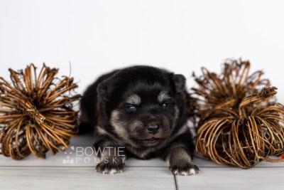 puppy114 week1 BowTiePomsky.com Bowtie Pomsky Puppy For Sale Husky Pomeranian Mini Dog Spokane WA Breeder Blue Eyes Pomskies Celebrity Puppy web2