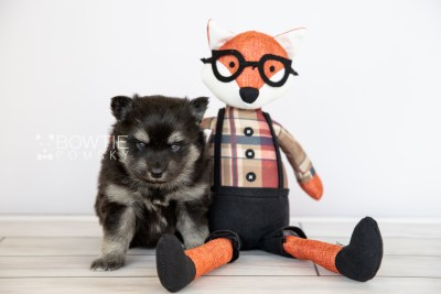 puppy114 week3 BowTiePomsky.com Bowtie Pomsky Puppy For Sale Husky Pomeranian Mini Dog Spokane WA Breeder Blue Eyes Pomskies Celebrity Puppy web3