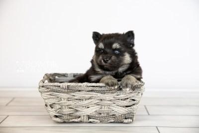 puppy114 week3 BowTiePomsky.com Bowtie Pomsky Puppy For Sale Husky Pomeranian Mini Dog Spokane WA Breeder Blue Eyes Pomskies Celebrity Puppy web4