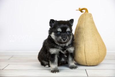 puppy114 week3 BowTiePomsky.com Bowtie Pomsky Puppy For Sale Husky Pomeranian Mini Dog Spokane WA Breeder Blue Eyes Pomskies Celebrity Puppy web6