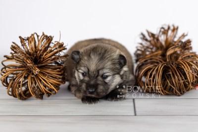puppy115 week1 BowTiePomsky.com Bowtie Pomsky Puppy For Sale Husky Pomeranian Mini Dog Spokane WA Breeder Blue Eyes Pomskies Celebrity Puppy web2