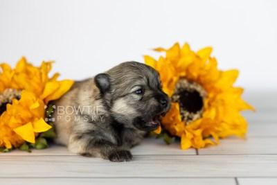 puppy115 week1 BowTiePomsky.com Bowtie Pomsky Puppy For Sale Husky Pomeranian Mini Dog Spokane WA Breeder Blue Eyes Pomskies Celebrity Puppy web4