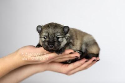 puppy115 week1 BowTiePomsky.com Bowtie Pomsky Puppy For Sale Husky Pomeranian Mini Dog Spokane WA Breeder Blue Eyes Pomskies Celebrity Puppy web6