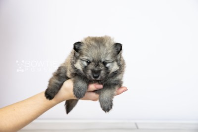 puppy115 week3 BowTiePomsky.com Bowtie Pomsky Puppy For Sale Husky Pomeranian Mini Dog Spokane WA Breeder Blue Eyes Pomskies Celebrity Puppy web1