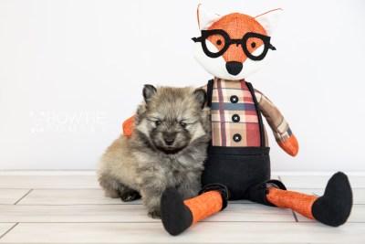 puppy115 week3 BowTiePomsky.com Bowtie Pomsky Puppy For Sale Husky Pomeranian Mini Dog Spokane WA Breeder Blue Eyes Pomskies Celebrity Puppy web3