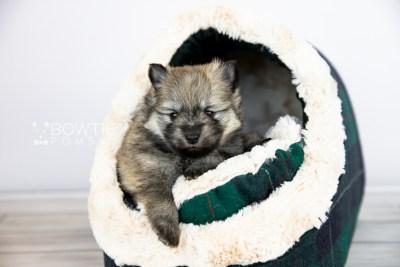 puppy115 week3 BowTiePomsky.com Bowtie Pomsky Puppy For Sale Husky Pomeranian Mini Dog Spokane WA Breeder Blue Eyes Pomskies Celebrity Puppy web5