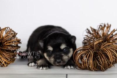 puppy116 week1 BowTiePomsky.com Bowtie Pomsky Puppy For Sale Husky Pomeranian Mini Dog Spokane WA Breeder Blue Eyes Pomskies Celebrity Puppy web2