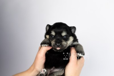 puppy116 week1 BowTiePomsky.com Bowtie Pomsky Puppy For Sale Husky Pomeranian Mini Dog Spokane WA Breeder Blue Eyes Pomskies Celebrity Puppy web6
