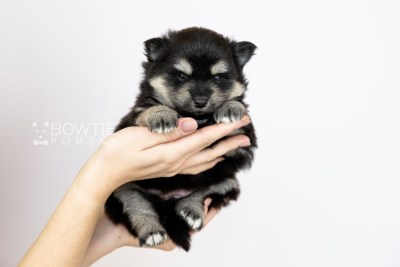 puppy116 week3 BowTiePomsky.com Bowtie Pomsky Puppy For Sale Husky Pomeranian Mini Dog Spokane WA Breeder Blue Eyes Pomskies Celebrity Puppy web1