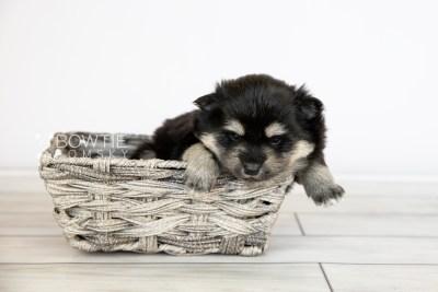 puppy116 week3 BowTiePomsky.com Bowtie Pomsky Puppy For Sale Husky Pomeranian Mini Dog Spokane WA Breeder Blue Eyes Pomskies Celebrity Puppy web4
