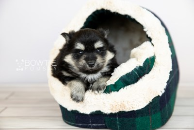 puppy116 week3 BowTiePomsky.com Bowtie Pomsky Puppy For Sale Husky Pomeranian Mini Dog Spokane WA Breeder Blue Eyes Pomskies Celebrity Puppy web5