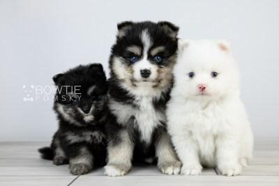 puppy111-113 week5 BowTiePomsky.com Bowtie Pomsky Puppy For Sale Husky Pomeranian Mini Dog Spokane WA Breeder Blue Eyes Pomskies Celebrity Puppy web1