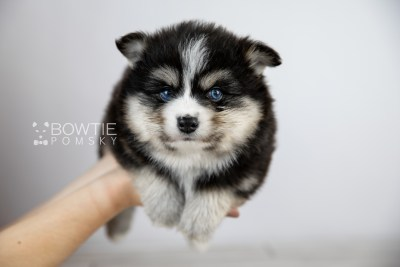 puppy111 week5 BowTiePomsky.com Bowtie Pomsky Puppy For Sale Husky Pomeranian Mini Dog Spokane WA Breeder Blue Eyes Pomskies Celebrity Puppy web1
