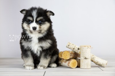 puppy111 week5 BowTiePomsky.com Bowtie Pomsky Puppy For Sale Husky Pomeranian Mini Dog Spokane WA Breeder Blue Eyes Pomskies Celebrity Puppy web4