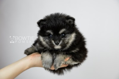 puppy112 week5 BowTiePomsky.com Bowtie Pomsky Puppy For Sale Husky Pomeranian Mini Dog Spokane WA Breeder Blue Eyes Pomskies Celebrity Puppy web1