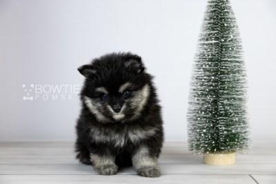 puppy112 week5 BowTiePomsky.com Bowtie Pomsky Puppy For Sale Husky Pomeranian Mini Dog Spokane WA Breeder Blue Eyes Pomskies Celebrity Puppy web2