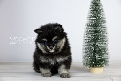 puppy112 week5 BowTiePomsky.com Bowtie Pomsky Puppy For Sale Husky Pomeranian Mini Dog Spokane WA Breeder Blue Eyes Pomskies Celebrity Puppy web2