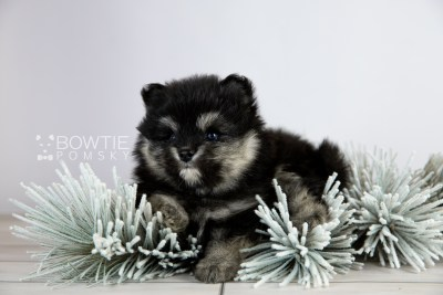puppy112 week5 BowTiePomsky.com Bowtie Pomsky Puppy For Sale Husky Pomeranian Mini Dog Spokane WA Breeder Blue Eyes Pomskies Celebrity Puppy web5
