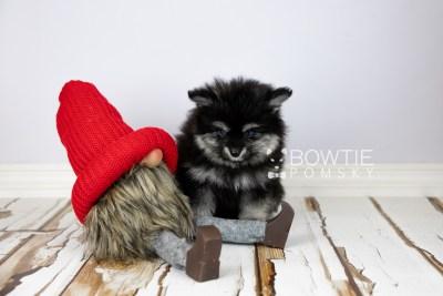 puppy112 week7 BowTiePomsky.com Bowtie Pomsky Puppy For Sale Husky Pomeranian Mini Dog Spokane WA Breeder Blue Eyes Pomskies Celebrity Puppy web2