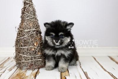 puppy112 week7 BowTiePomsky.com Bowtie Pomsky Puppy For Sale Husky Pomeranian Mini Dog Spokane WA Breeder Blue Eyes Pomskies Celebrity Puppy web3