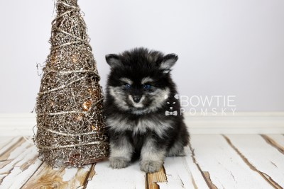 puppy112 week7 BowTiePomsky.com Bowtie Pomsky Puppy For Sale Husky Pomeranian Mini Dog Spokane WA Breeder Blue Eyes Pomskies Celebrity Puppy web3