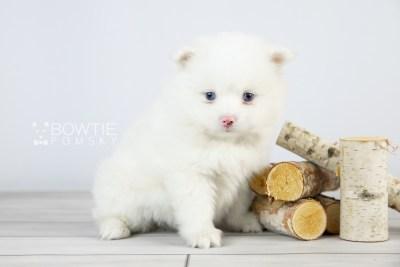 puppy113 week5 BowTiePomsky.com Bowtie Pomsky Puppy For Sale Husky Pomeranian Mini Dog Spokane WA Breeder Blue Eyes Pomskies Celebrity Puppy web4