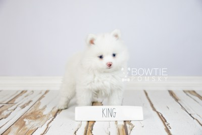 puppy113 week7 BowTiePomsky.com Bowtie Pomsky Puppy For Sale Husky Pomeranian Mini Dog Spokane WA Breeder Blue Eyes Pomskies Celebrity Puppy web1