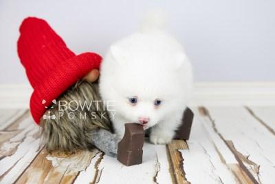 puppy113 week7 BowTiePomsky.com Bowtie Pomsky Puppy For Sale Husky Pomeranian Mini Dog Spokane WA Breeder Blue Eyes Pomskies Celebrity Puppy web2